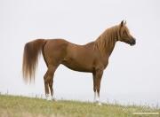 Ojai, CA, purebred horse, chestnut Arabian stallion stands