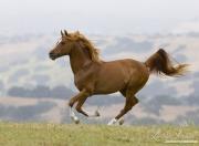Ojai, CA, purebred horse, chestnut Arabian stallion running