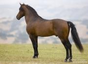 Ojai, CA, purebred horse, bay Andalusian stallion standing