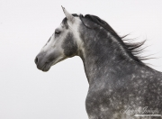 Ojai, CA, purebred horse, dappled grey Andalusian stallion