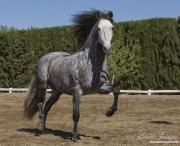 Ejicia, Spain, purebred Andalusians, grey stallion trotting