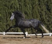 Ejicia, Spain, purebred Andalusians, grey stallion trotting