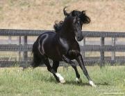 Ojai, CA, purebred horse, black Peruvian Paso stallion runs