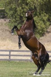 Ojai, CA, purebred horse, bay Azteca stallion rearing