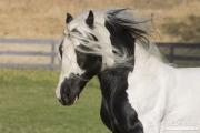 Ojai, CA, purebred horse, Gypsy Vanner stallion running