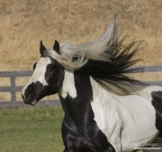 Ojai, CA, purebred horse,  Gypsy Vanner stallion runs