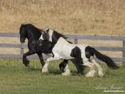 Ojai, CA, purebred horse,  Gypsy Vanner and Friesian stallions run