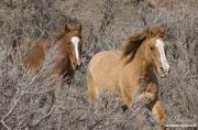Sombrero Ranch, Craig, CO, two sorrel horses running through sagebrush