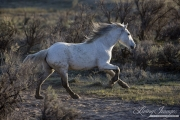 Sombrero Ranch, Craig, CO, grey horse runs through sagebrush