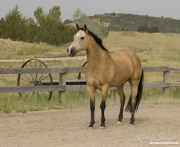 buckskin Morgan mare stands in Castle Rock, CO