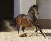 Purebred Bay Andalusian stallion runs in Osuna, Spain
