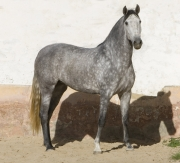 Purebred Andalusian in Osuna, Spain, grey mare standing