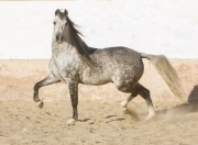 Purebred Andalusian in Osuna, Spain, grey stallion trots
