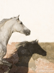 Purebred Andalusian in Osuna, Spain, grey stallion head and shadow