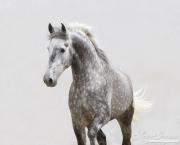 Ejicia, Spain, purebred Andalusians, grey stallion trots