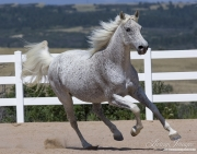 purebred Rocky Mountain Horse in Castle Rock, CO, mare running