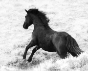 wild horse, Antelope Hills Herd Area, Wyoming, roundup, stallion