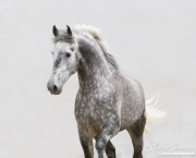 Ejicia, Spain, purebred Andalusians, grey stallion trots