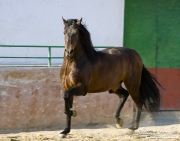 Purebred Andalusian in Osuna, Spain, bay stallion trots