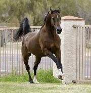 Arabians, Horses