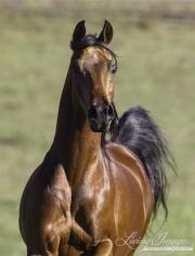 Ojai, bay Arabian stallion running