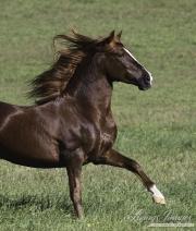 Ojai, California, Chestnut Peruvian Paso running