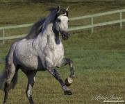 Ojai, California, Gray Andalusian stallion running
