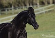 Ojai, California, Black Andalusian stallion running
