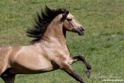 Ojai, California, Buckskin Andalusian stallion