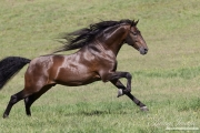 Ojai, California, Bay Andalusian stallion running