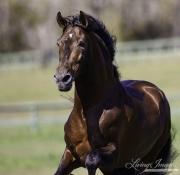 Ojai, California, Bay Andalusian stallion running