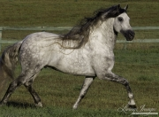 Ojai, California, Gray Andalusian stallion running