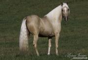 Ojai, California, Palomino Peruvian Paso stallion running
