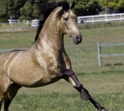 Ojai, California, Buckskin Andalusian stallion