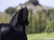 Ojai, California, Black Friesian stallion moving