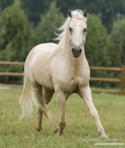 Palomino Welsh Pony stallion trots in Ft. Collins, CO