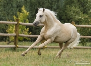 purebred Palomino Welsh Pony stallion runs in Ft. Collins, CO