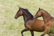 Bay half Andalusian half Percheron gelding and bay Quarter Horse gelding run together in Castle Rock, CO