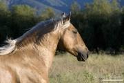 Palomino Lusitano Stallion, Ojai, CA