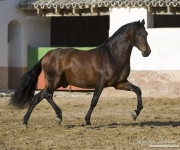 Bay Andalusian stallion Trotting in Osuna, Spain
