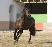 Bay Andalusian stallion running in Osuna, Spain