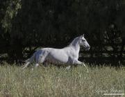 Gray Andalusian Mare, Ojai, CA