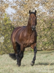 Bay Quarter Horse stallion trots in Longmont, CO