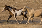 Flitner Ranch, Shell, WY - paint horse and palomino quarter horse trotting