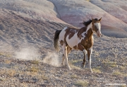 Flitner Ranch, Shell, WY - paint horse runs down pink hill