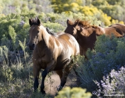 Quarter horse mares and foals run , San Cristobal Ranch, NM