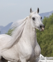 Grey Arabian Stallion, Ojai, CA