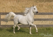 purebred grey Arabian stallion trots in Ojai, CA
