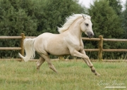 Palomino Welsh Pony stallion runs in Ft. Collins, CO