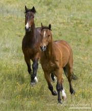 Bay half Andalusian half Percheron gelding and bay Quarter Horse gelding run together in Castle Rock, CO